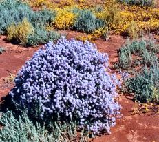 The gorgeous wildflowers of Western Australia