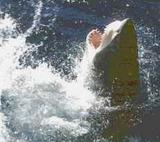 White Pointer Shark - South Australia - Yes! We DO have them!