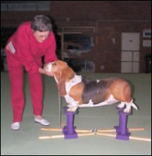 First time on the SHOW STACKER - Benabey Lodge Miss Daisy - Bassett, owned by Jean Yates, on the prototype GIANT Show Stacker