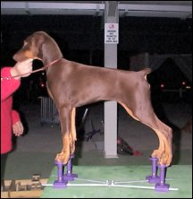"First time on the SHOW STACKER - 4 months old Dobermann Pup ""Minx"", (Bravadobe Night Minx) owned by Jo-Anne Gill, on the LARGE Show Stacker"